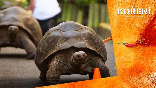 Jak vypadají želví závody? Překonat 200 metrů jim trvalo přes hodinu!